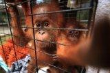 Tiga ekor orangutan dilepasliarkan di hutan