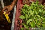 Petani muda memeriksa kadar kualitas nutrisi (ppm) tanaman mint (spearta mentha spicata) di kebun Amatta Farm, Desa Purwadana, Telukjambe Timur, Karawang, Jawa Barat, Sabtu (22/5/2021). Pembudidayaan tanaman mint di kebun tersebut dapat menghasilkan 50 kilogram daun tanaman mint per bulan dan dijual dengan harga Rp9 ribu per 50 gram untuk memenuhi kebutuhan pasar swalayan modern, kafe dan restoran serta masyarakat. ANTARA JABAR/M Ibnu Chazar/agr