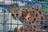 BKSDA lepasliarkan kucing hutan ke Cagar Alam Rimbo Panti