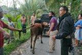Sapi limousine diduga hasil curian ditemukan persawahan warga Barejulat Loteng