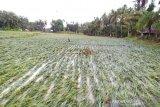 Ratusan hektare kebun jagung di OKU rusak akibat banjir