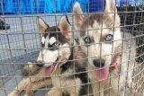 Patroli TNI AL amankan tiga ekor anjing ras di perairan wilayah  Jayapura
