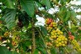 Panen kopi Lampung diproyeksikan pada tahun 2022 meningkat 94.877 ton