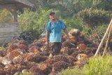 Berpihak ke industri, Petani Sawit minta pungutan dana sawit direvisi