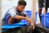 Pembudidaya tunda panen lobster di Lampung akibat harga belum stabil