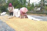 Harga gabah di Lampung turun