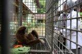 Dokter hewan Balai Konservasi Sumber Daya Alam (BKSDA) Aceh Taing Lubis memeriksa kondisi kesehatan satwa langka dan dilindungi owa lar (Hylobates lar) serahan warga di kandang rehabilitasi, Banda Aceh, Aceh, Kamis (27/5/2021). BKSDA Aceh merawat seekor owa lar, tiga ekor owa siamang (Symphalangus syndactylus) dan empat ekor beruang madu (Helarctos malayanus) yang diserahkan warga secara sukarela untuk dikembali kehabitatnya. Antara Aceh/Irwansyah Putra.