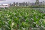 Lahan tembakau di Temanggung capai 14 ribu hektare