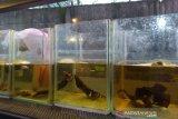 UMKM ikan cupang minta dukungan Pemerintah Surakarta kembangkan usaha