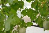 Jawa Barat panen buah melon hasil Smart Greenhouse hidroponik