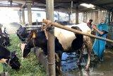 Mantri BRI dorong pengembangan usaha sapi perah warga desa