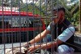 Seekor burung elang Brontok diserahkan warga Plasma Masang kepada BKSDA Agam