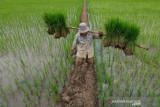 Dinas Pertanian Sulsel siapkan benih padi gratis untuk 600.000 hektare sawah