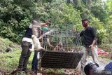BKSDA Sumbar lepasliar tiga satwa dilindungi di Cagar Alam Maninjau
