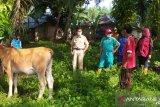 Menjelang Idul Adha, sebanyak ini ketersediaan ternak sapi dan kambing di Agam