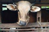 BNI Mataram gandeng pondok pesantren uji coba penggemukan sapi Simental