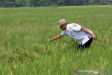 Boyolali targetkan produksi 160.000 ton setara beras