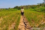 Tanaman padi seluas 25 hektare di Kulon Progo dipastikan gagal panen
