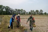 Koramil 411-04 Trimurjo dan warga Pujo Asri lakukan gropyokan cegah hama tikus