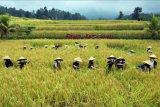 Petani bersama Duta Hijau Bali memanen padi merah saat panen raya di persawahan Jatiluwih, Tabanan, Bali, Kamis (3/6/2021). Tradisi panen raya padi merah yang digelar setiap bulan Juni itu merupakan upaya mempromosikan kembali kawasan objek wisata yang telah ditetapkan UNESCO sebagai warisan budaya dunia tersebut di tengah pandemi COVID-19. ANTARA FOTO/Nyoman Hendra Wibowo/nym.