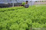 Seorang petani milenial Restu Julia Wardani merawat tanaman seladanya di Dusun Cilame, Kabupaten Ciamis, Jawa Barat, Kamis (3/7/2021). Restu yang masih berstatus mahasiswa tersebut memanfaatkan sebuah lahan tidak produktif untuk bertani sistem hidroponik dengan omzet mencapai Rp5 juta per bulan. ANTARA JABAR/Adeng Bustomi/agr