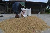Hasil Panen Padi di Desa Meli Meningkat