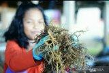 Pembudidaya rumput laut Nunukan kembali bergairah