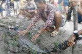 Warga Mestong Muarojambi tangkap seekor buaya berukuran 1,5 meter