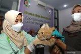 Dokter hewan memeriksa kesehatan kucing peliharaan di Rumah Sakit Hewan Banyuwangi, Jawa Timur, Senin (7/6/2021). Pemerintah daerah Banyuwangi mendirikan Rumah Sakit Hewan (RSH) yang sudah dilengkapi berbagai fasilitas seperti ruang rawat inap, ruang bedah, Lab dan USG untuk menangani kesehatan hewan peliharaan.  Antara Jatim/Budi Candra Setya/zk