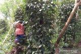 Petani lada Belitung mulai panen