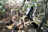 Polisi selidiki penemuan bangkai gajah di hutan produksi Mukomuko