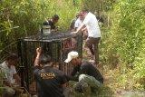Makhluk misterius di Palembayan teryata beruang, BKSDA pasang perangkap untuk evakuasi (Video)
