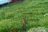 Viral, harimau di Siak memangsa ayam milik warga Teluk Lanus