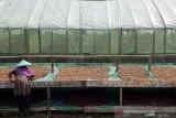 Petani menjemur kopi jenis arabika di Puntang Kopi, Banjaran, Kabupaten Bandung, Jawa Barat, Kamis (10/6/2021). Puntang kopi mampu memproduksi berbagai jenis rasa dan pengolahan kopi yang berbeda sebanyak 100 ton pertahunnya dan dijual ke berbagai daerah di Indonesia dengan kisaran harga dari Rp 125 ribu - 160 ribu per kg. ANTARA JABAR/M Agung Rajasa/agr