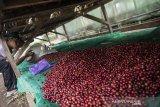 Petani menjemur buah kopi jenis arabika di Puntang Kopi, Banjaran, Kabupaten Bandung, Jawa Barat, Kamis (10/6/2021). Puntang kopi mampu memproduksi berbagai jenis rasa dan pengolahan kopi yang berbeda sebanyak 100 ton pertahunnya dan dijual ke berbagai daerah di Indonesia dengan kisaran harga dari Rp 125 ribu - 160 ribu per kg. ANTARA JABAR/M Agung Rajasa/agr