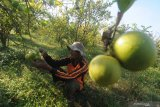 Petani memeriksa buah jeruk lemon menjelang dipanen di Desa Samiran, Pamekasan, Jawa Timur, Jumat (11/6/2021). Memasuki musim panen tahun ini harga jeruk lemon lokal di tingkat petani di daerah itu berkisar Rp3.000-Rp10.000 per kg tergantung kualitas. Antara Jatim/Saiful Bahri/zk