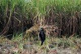 Pekerja memanen tebu di desa Kerticala, Tukdana, Indramayu, Jawa Barat, Jumat (11/6/2021). PT Rajawali Nusantara Indonesia (Persero) menargetkan produksi gula mencapai 282.000 ton di 2021 atau meningkat 22 persen dari tahun 2020 dengan produksi gula sebanyak 231.000 ton. ANTARA JABAR/Dedhez Anggara/agr