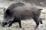 Ratusan babi hutan mendadak mati di tiga kabupaten di Kaltara