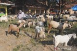 Pedagang menunggui kambing dagangnya di Pasar 17 Agustus,  Pamekasan, Jawa Timur, Minggu (13/6/2021). Sejak dua pekan lalu harga kambing di Pamekasan untuk ukuran kecil naik dari Rp1.1 juta menjadi Rp1.2 juta, kambing dewasa menjadi Rp3.2 juta dari Rp3 juta per ekor, karena tingginya minat petani untuk menggemukan ternak tersebut, dengan harapan mendapatkan keuntungan saat dijual kembali menjelang Idul Adha  mendatang. Antara Jatim/Saiful Bahri/zk
