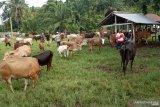 Transaksi jual beli sapi kurban di Agam meningkat jelang Idul Adha