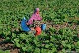 Petani menyiram tanaman tembakau di Desa Dasok, Pamekasan, Jawa Timur, Sabtu (12/6/2021). Data Dinas Perindustrian dan Perdagangan  Pamekasan, menyebutkan rencana serapan tembakau Madura oleh sejumlah pabrikan pada musim tanam tembakau 2021 ini berkisar 17.200 ton atau naik dibanding tahun 2020 sebanyak 13.425 ton. Antara Jatim/Saiful Bahri/zk