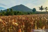 Pemprov NTT sebut produksi jagung program TJPS capai 16.091 ton