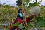 PENERAPAN PROKES DI AGROWISATA. Pengunjung mengenakan masker memetik buah melon (Cucumis melo L ) di lokasi agrowisata daerah pesisir Desa Lamanyang, Kecamatan Peukan Bada, Kabupaten Aceh Besar, Aceh, Sabtu (12/6/2021). Agrowisata yang ramai pengunjung berbelanja buah buahan dan komoditas pertanian lainnya menerapakan prokes untuk mencegah penyeberan COVID-19. ANTARA FOTO/Ampelsa.