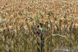 Petani mengupas jagung untuk dikeringkan di Dusun Sukamanah, Kabupaten Ciamis, Jawa Barat, Selasa (15/7/2021). Kementerian Pertanian menargetkan produksi jagung tahun 2021 bisa mencapai 22,5 juta ton untuk kebutuhan industri pakan unggas dalam negeri dengan target luas tanam seluas 4,2 juta hektare. ANTARA JABAR/Adeng Bustomi/agr