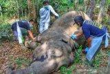 Duh, gajah betina ditemukan mati di kebun warga di Pelalawan