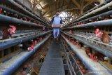 Peternak memanen telur dari peternakan ayam miliknya di Malang, Jawa Timur, Rabu (16/6/2021). Peternak ayam petelur setempat mengeluhkan makin membengkaknya biaya pakan akibat naiknya harga jagung dari Rp4.200 menjadi Rp6.400 per kilogram padahal harga jual telur di pasaran justru turun dari Rp20.800 menjadi Rp19.600 per kilogram. Antara Jatim/Ari Bowo Sucipto/zk