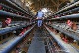 Peternak Ayam Petelur Keluhkan naiknya Biaya Pakan