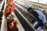 Peternak memberi makan ayam petelur peliharaannya di Malang, Jawa Timur, Rabu (16/6/2021). Peternak ayam petelur setempat mengeluhkan makin membengkaknya biaya pakan akibat naiknya harga jagung dari Rp4.200 menjadi Rp6.400 per kilogram padahal harga jual telur di pasaran justru turun dari Rp20.800 menjadi Rp19.600 per kilogram. Antara Jatim/Ari Bowo Sucipto/zk