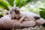 Dokter hewan dari Pemerintah Kabupaten Bangka memeriksa anak kucing berwajah dua di Sripemandang Sungailiat, Kabupaten Bangka, Provinsi Kepulauan Bangka Belitung, Kamis (17/6/2021). Kucing berwajah dua atau dengan bahasa ilmiah Diprosopus tersebut diberi nama Juna Juni. ANTARA FOTO/Anindira Kintara/pras.