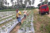 Petani Lampung mulai budidayakan porang tingkatkan ekonomi